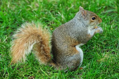 Un des nombreux écureuil de New York