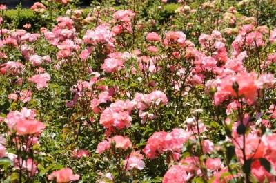 Roses dans le jardin Pedro Luis Alonso à côté de la mairie