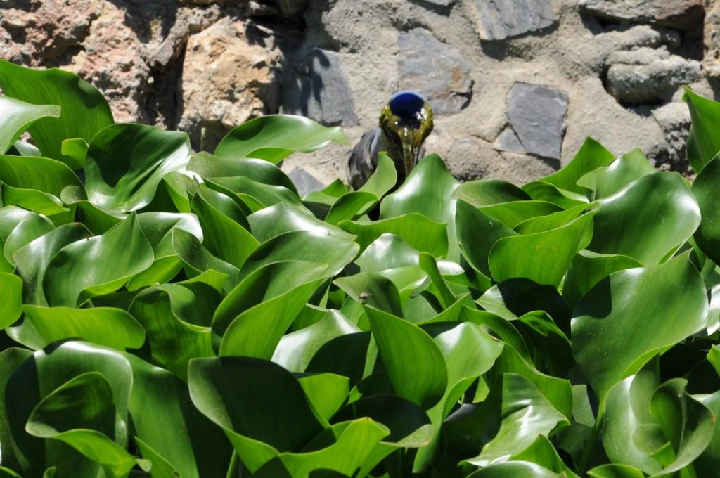 jardines-de-puerta-oscura-jacinthe-deau