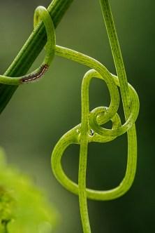 Tipos de plantas trepadoras: plantas con zarcillos.