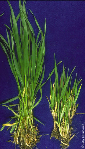 Yellow dwarf virus  comparison with healthy wheat