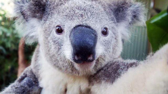 coala-1