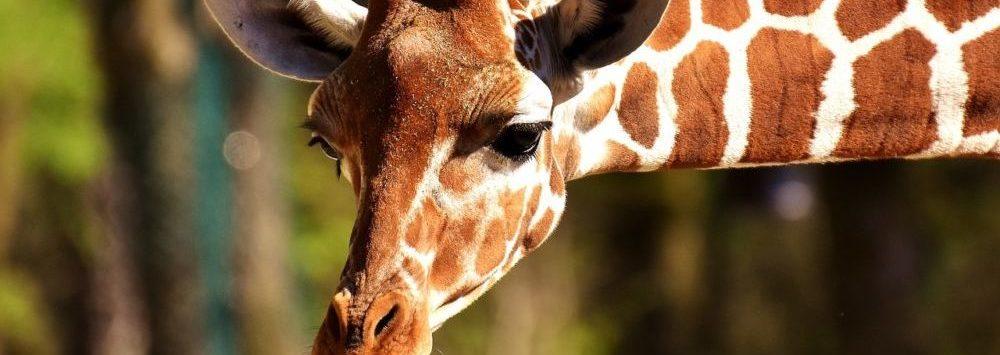 Picture of wildlife: giraffe