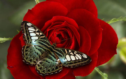 butterfly red rose wallpaper