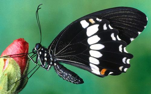 black butterfly on flower wallpaper