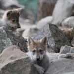 CDMX tiene nuevos residentes: 5 lobos y 1 jirafa