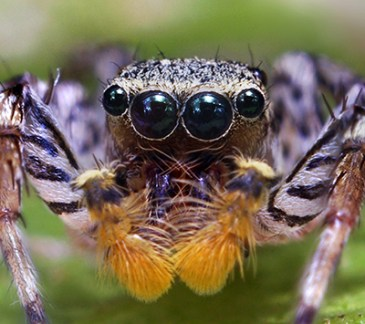 Dimorphic_Jumping_Spider