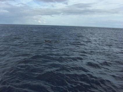 Moorea - dauphins