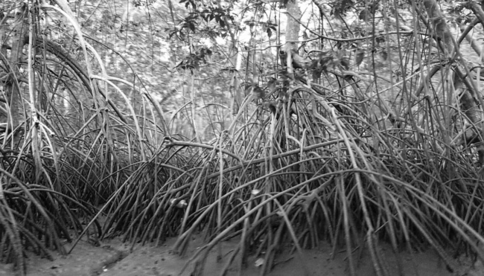 Roots of the red mangrove tree. Photo by Patricia Macías.