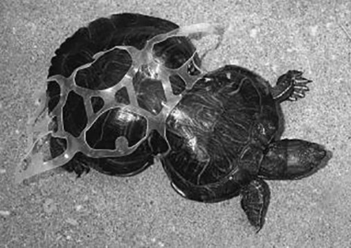 Tortuga atrapada en six pack de plástico.