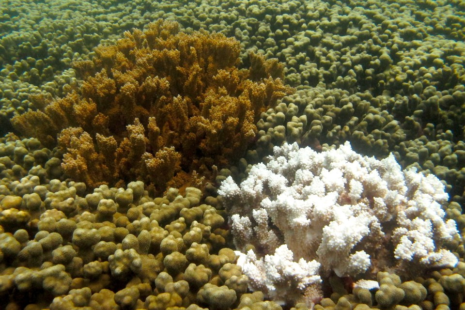Bleached Coral in Comparison to Healthy Coral. Photo by Smithsonian's National Zoo