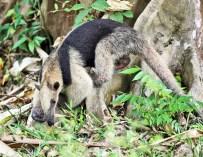 Día Mundial del Medio Ambiente: Conoce a 10 de los Animales en Peligro de Extinción en Guatemala