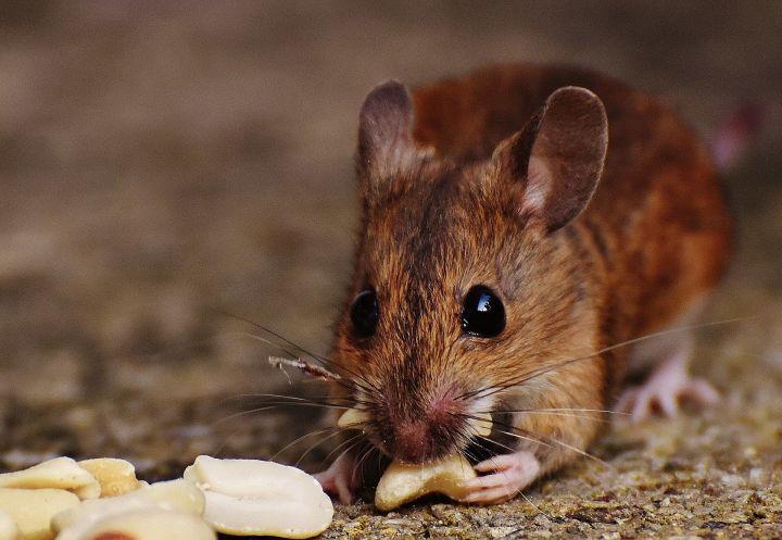 Estudios en ratones sobre la pérdida de peso