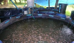 start a tilapia fish farm