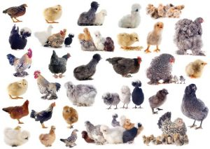consider before starting poultry businesses-www.entrepreneur.ng