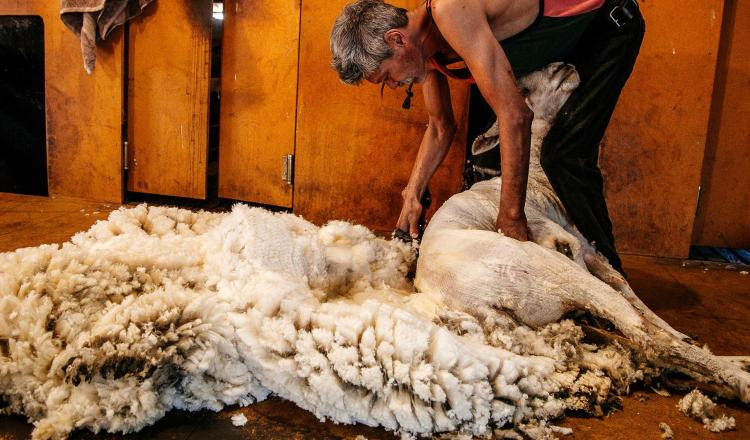 Sheep shearing is a weird yet brilliant business ideas