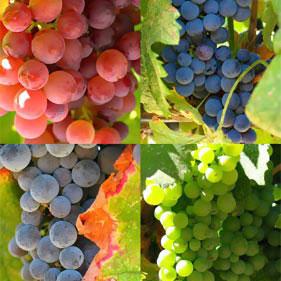 La uva fruta sana y jugosa