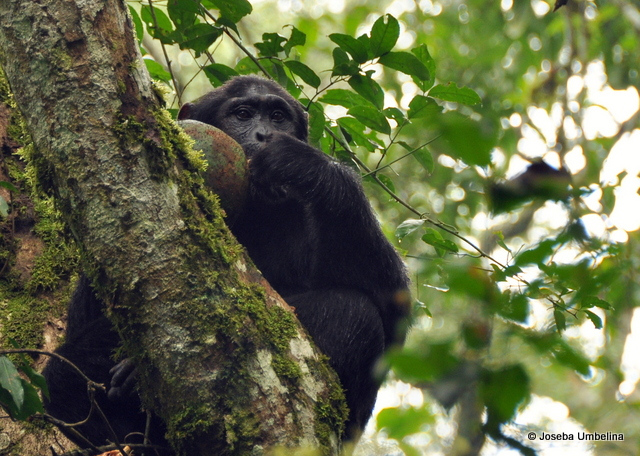 Chimpancé en el Bosque de Budongo, UgandaVer mas fotos de paisajes naturales en fotosmundo.net
