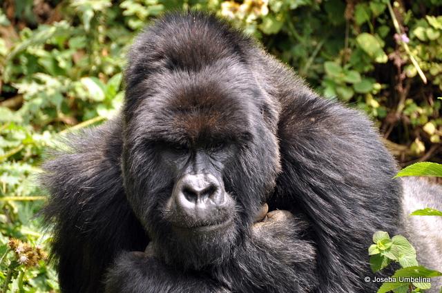 Gorila de espalda plateada en el Parc National Des Volcans, Ruanda