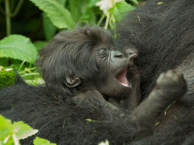 gorilas de montaña bebe 3