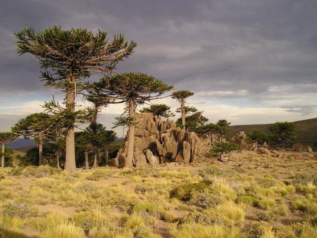 El-cambio-climatico-amenaza-los-bosques-de-araucaria_image800_