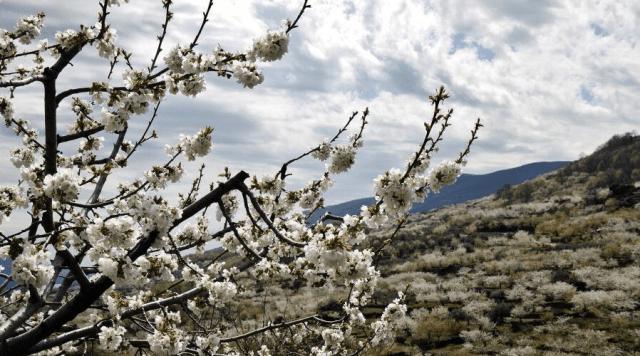 Los cerezos del Valle del Jerte suelen florecer en la segunda quincena de Marzo o primera semana de abril. No nos podemos perder este espectáculo a parte de comprar cerezas e ibéricos