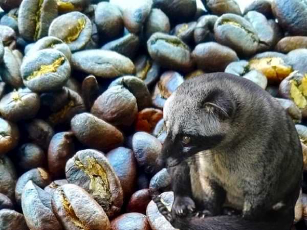 Kopi luwak - Café más caro del mundo