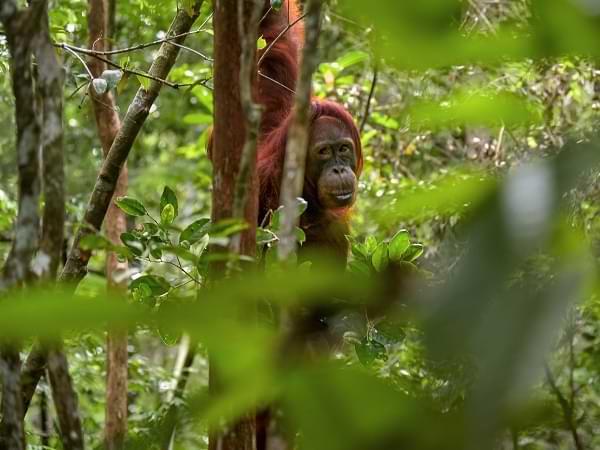 Orangután en Borneo Indonesia