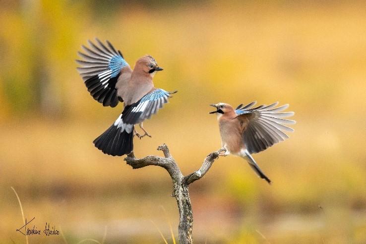 Jays fighting