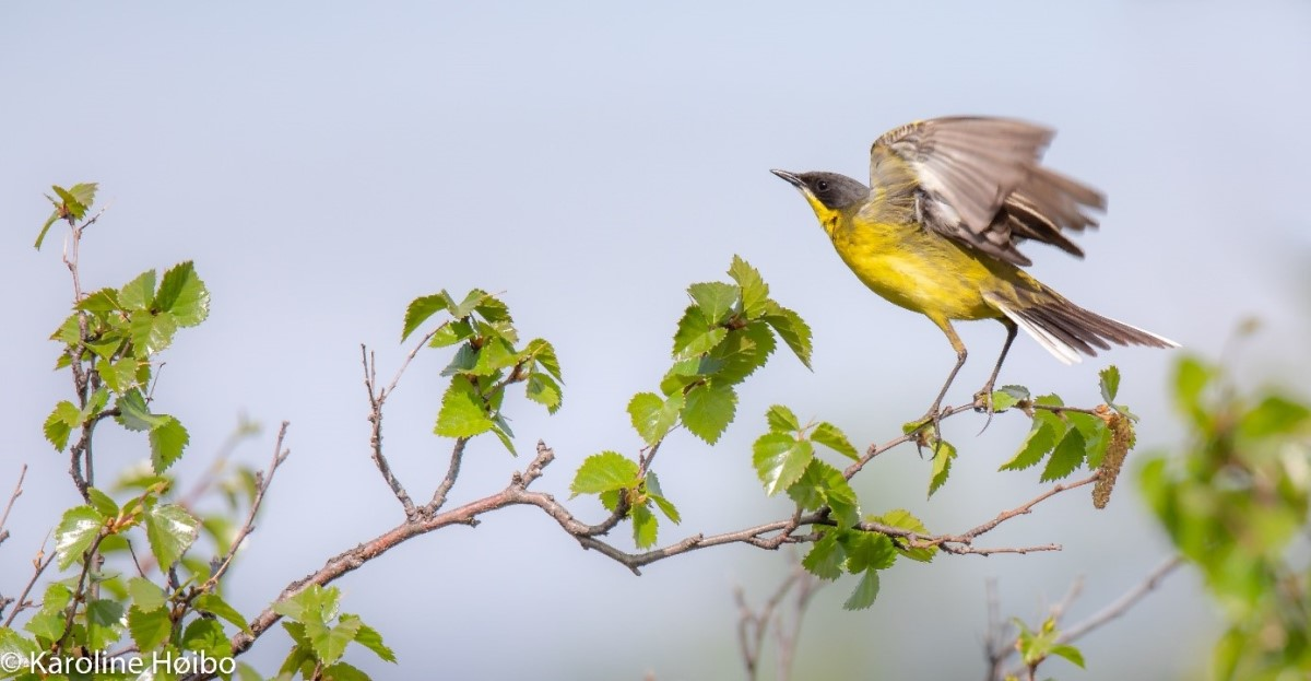 A yellow wagtail on a branch