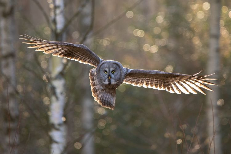 An owl in flight against a backdrop of woods