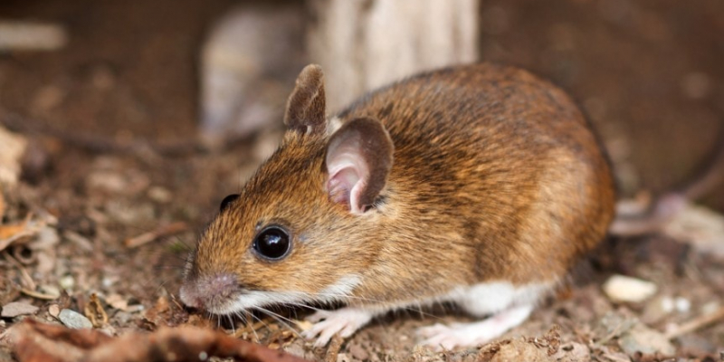 The Four Most Common Mice Found in Texas | EnviroCon