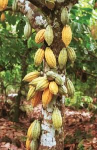 Cocoa-tree-1