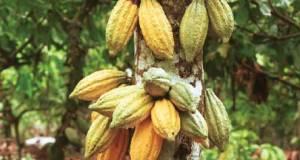 How government killed Nigeria's cocoa industry Cocoa tree 1