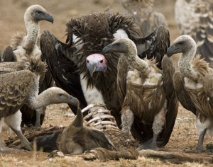 Vultures scavenging on a carcass. Photo courtesy: www.maxwaugh.com  BirdLife to Nigeria: Stop persecuting vultures vulture2 300x236