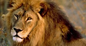 COP11: African Lion, Polar Bear, others require strict protection african lion male 436 600x450