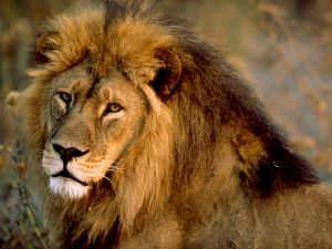 The African Lion. Photo: images.nationalgeographic.com  Africa agrees on ways to save its lions african lion male 436 600x450 300x225