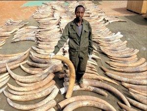Ivory trafficking. Photo credit: girlegirlarmy.com