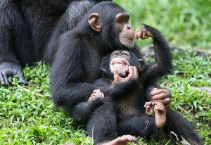 Chimpanzees. Photo credit: wired.com