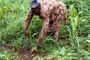 A maize farmer at work. Photo credit: osundefender.org