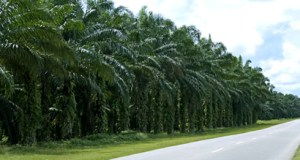 Oil palm plantation  Land-grab: Ugandan farmers sue oil palm project plantation2