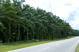 Oil palm plantation. Photo credit: www.palmplantations.com.au  Land-grab: Ugandan farmers sue oil palm project plantation2 300x200