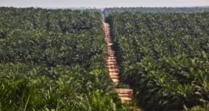 Palm Oil Plantation in Kalimantan