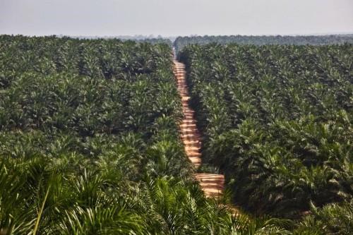 Palm oil plantation in Kalimantan. Photo credit: greenpeace.org