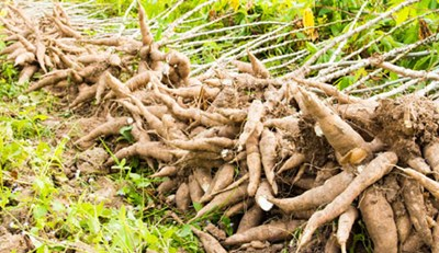 Freshly harvested cassava tubers. Photo credit: thisdayonline  Researchers seek to improve cassava production in Nigeria, Tanzania Cassava