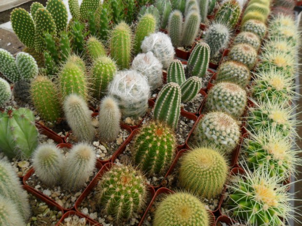 Thirty-one percent of cactus species are threatened with extinction. Photo credit: universofdeals.com  Concern over IUCN red-listed cactus plant Cactus e1444067181378