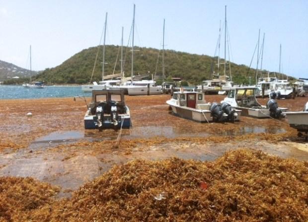 Sargassum seaweed invasion. Photo credit: stthomassource.com
