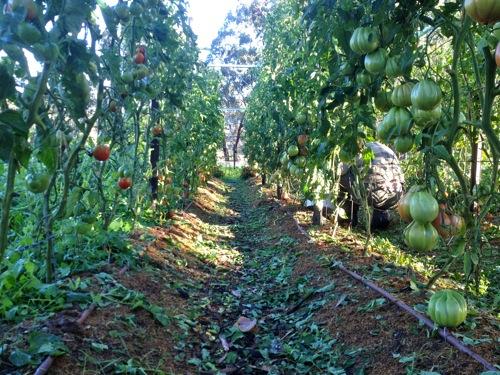 A tomato farm