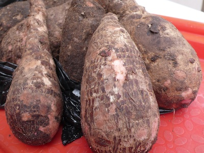 Tubers of cocoyam. Photo credit: southpawgroup.com