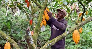 Cocoa  Cocoa farmers decry low productivity, urges government commitment in 2018 Cocoa